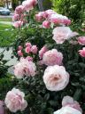 summer roses on McCarty