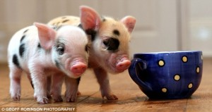 Teacup piglets - cutest thing ever!