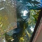 Sea lions are always fun to watch aquariumofpacific.org